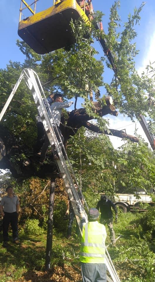 """접합 수술 중  """"나무가 살아나야 한다."""" 마을 주민, 고양환경운동연합 임원들, 공무원, 기술자들의 마음이 하나로 뭉쳤다."""
