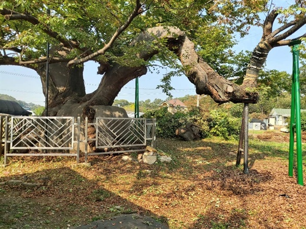 가지치기와 지지대 설치까지 마친 느티나무 (우측)  꺾였던 용뿔은 접합 수술 후 40여 일이 지난 현재 살아났다.