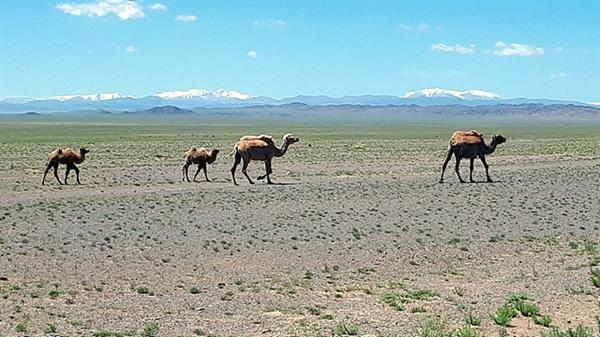 저 멀리 설산을 배경으로 사막을 걷는 낙타들 모습
