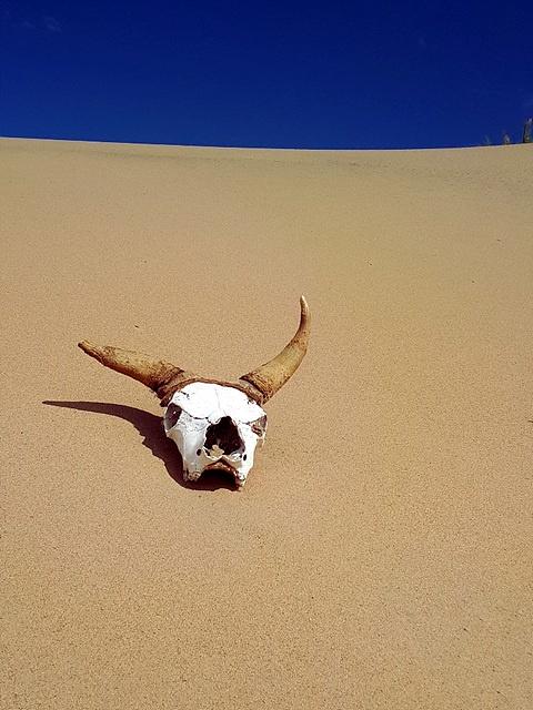 몽골 사막에 홀로 남겨진 소 두개골 모습이 인상적이다. 한때 몽골 초원을 누비며 유유자적하던 소가 모래외에는 아무것도 보이지 않는 사막에 흔적을 남겼다. 소가 남긴 흔적도 사막의 세찬 모래바람 때문에 언젠가는 한줌의 모래로 돌아가는 게 자연의 법칙이다.