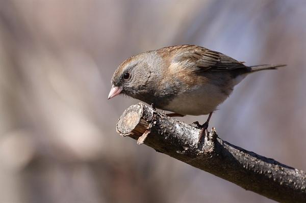 검은방울새. 북미지역에서 흔히 볼 수 있다. 한국에서 참새처럼 흔한 편이다.