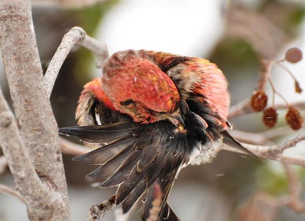 북미지역에 서식하는 솔잣새류의 일종. 꼬리샘에 부리를 갖다 대고 있다.
