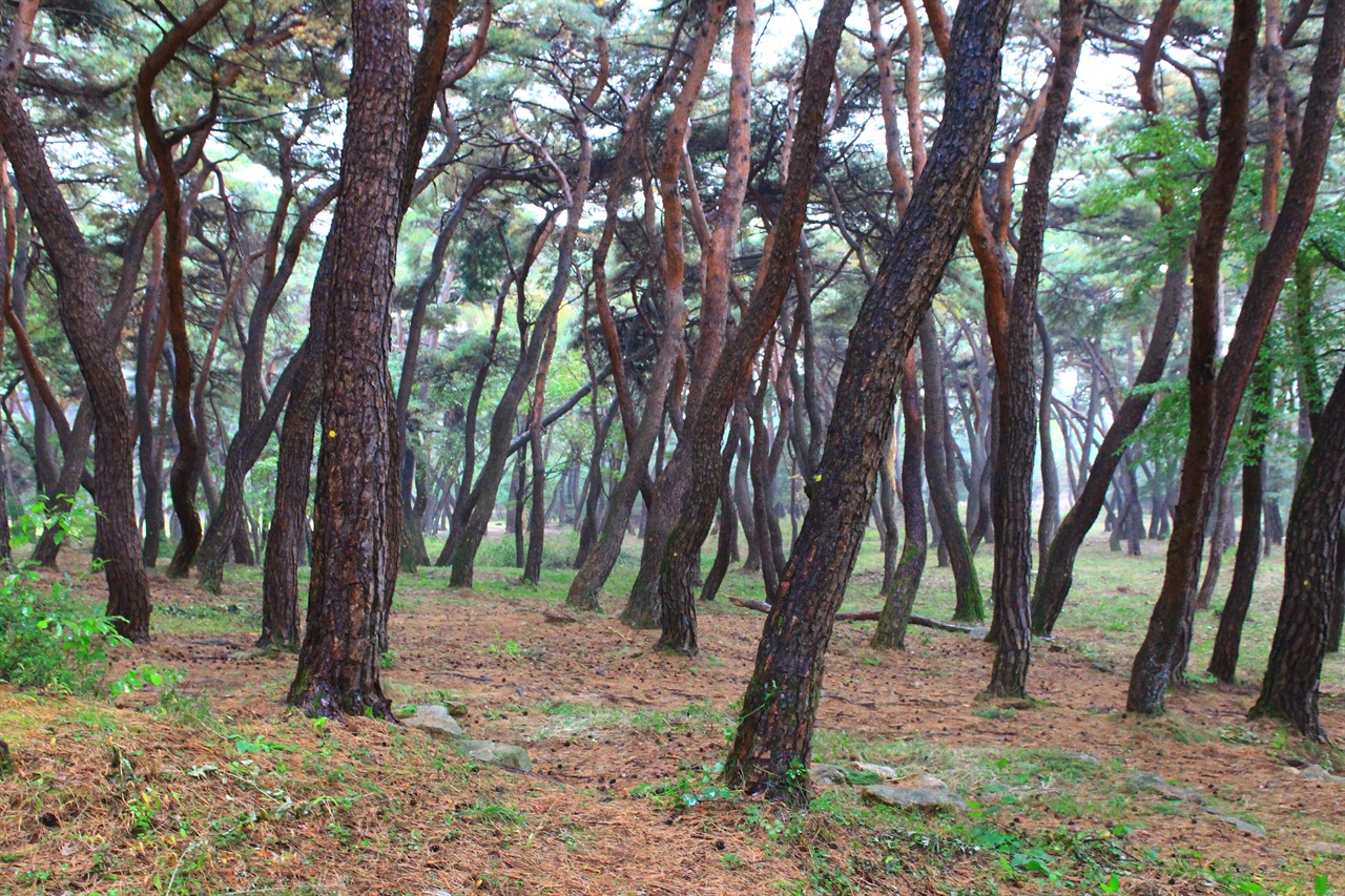 경주 배동 삼릉 솔숲 모습