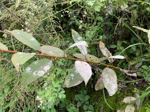 사진5 석회가루로 색이 변한 잎사귀