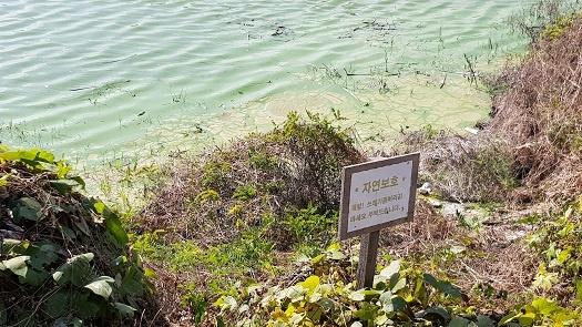 예당저수지 주변에 가득낀 녹조