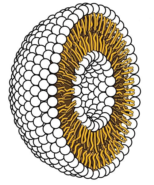 세포막의 구조를 보여주는 모식도. 지방산이 2개의 층을 이루고 있다. 지구 최초의 세포도 기본적으로 이와 유사한 구조였을 것으로 추정된다.