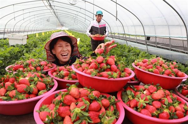 함양군 수동면 내백리 비닐하우스의 딸기 수확.
