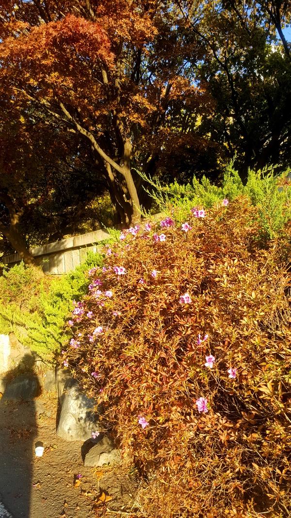 (구)인천 전문대학교 인근에 철쭉꽃이 개절을 잊고 피었다.