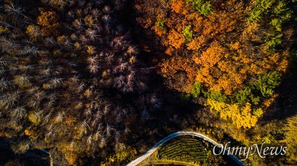 입동인 8일 강원도 인제 자작나무 숲의 가을 단풍 풍경