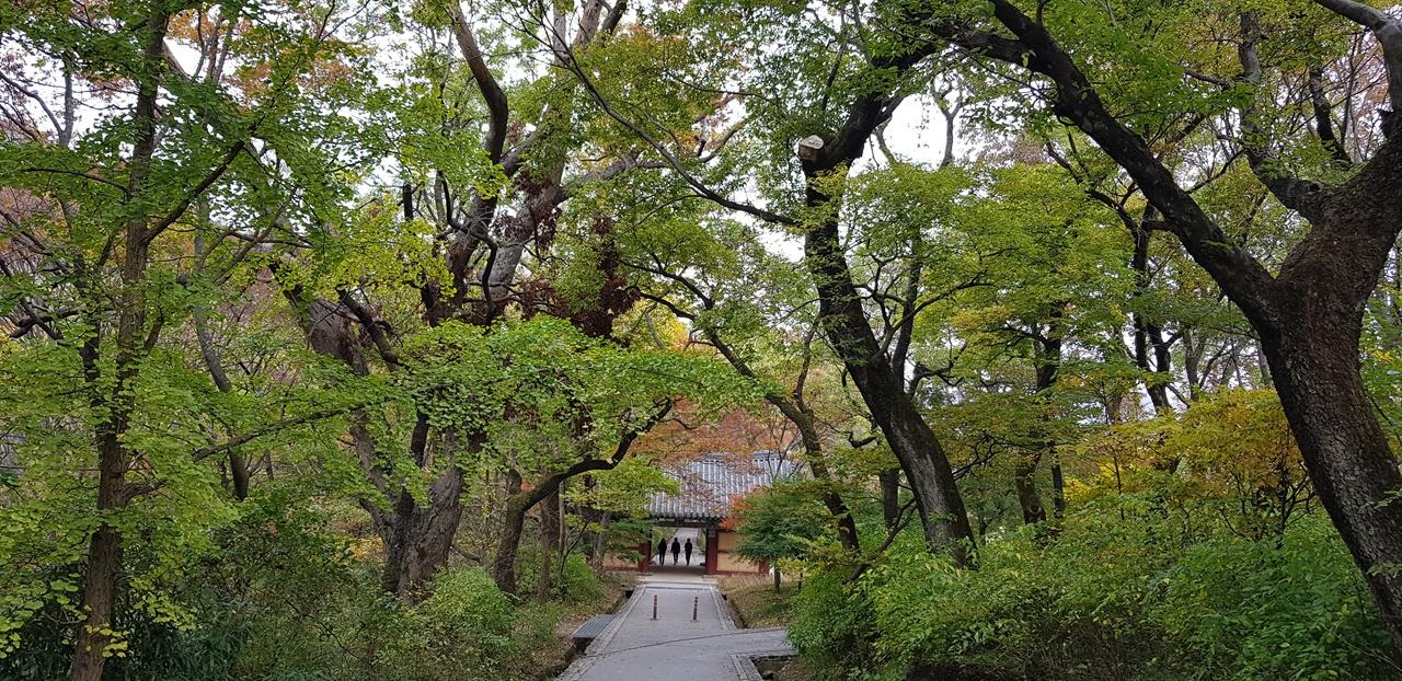 갑사 오리숲길   아름드리나무들이 십 리의 반인 오 리에 이르는 울창한 숲을 이루고 있다. 올해는 단풍이 늦게 내려오고 있다.