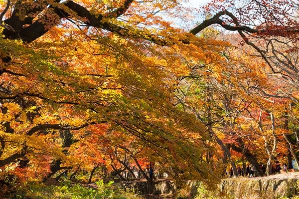 선운사 도솔천의 단풍 선운사 초입의 단풍나무가 가을옷을 입고 있다