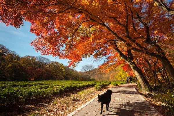 차밭과 어우러진 가을나무 녹음방초의 차밭과 울긋불긋 단풍나무 아래로 검은개의 나들이
