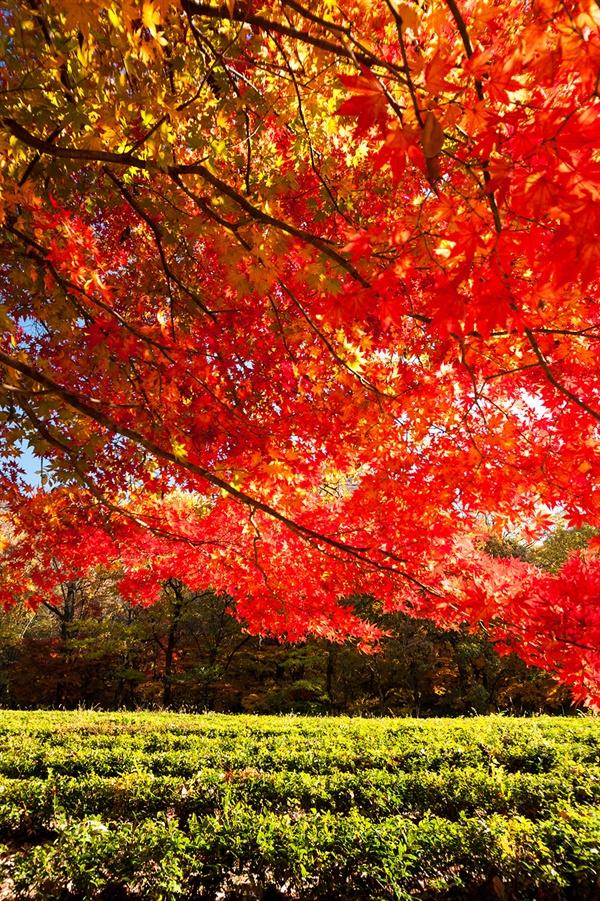 차밭과 단풍의 보색 대비 자연에서는 보기 어려운 봄의 차밭과 가을의 단풍