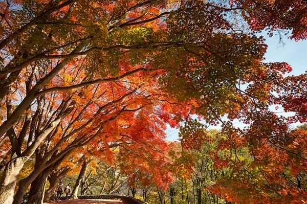 흐느러진 단풍가지로 가을이 물든다 도솔암 내원궁 앞의 단풍나무가 햇살을 찾아 가을에 물든다