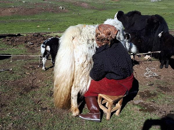 타왕복드 베이스캠프(2311m)에 살고있는 카자크족 여인이 야크젖을 짜고 있는 모습