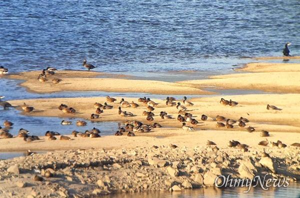 11월 9일 오후, 낙동강 창녕합안보 상류지역인 창녕남지 쪽의 모래톱에 많은 새들이 찾아와 있다.