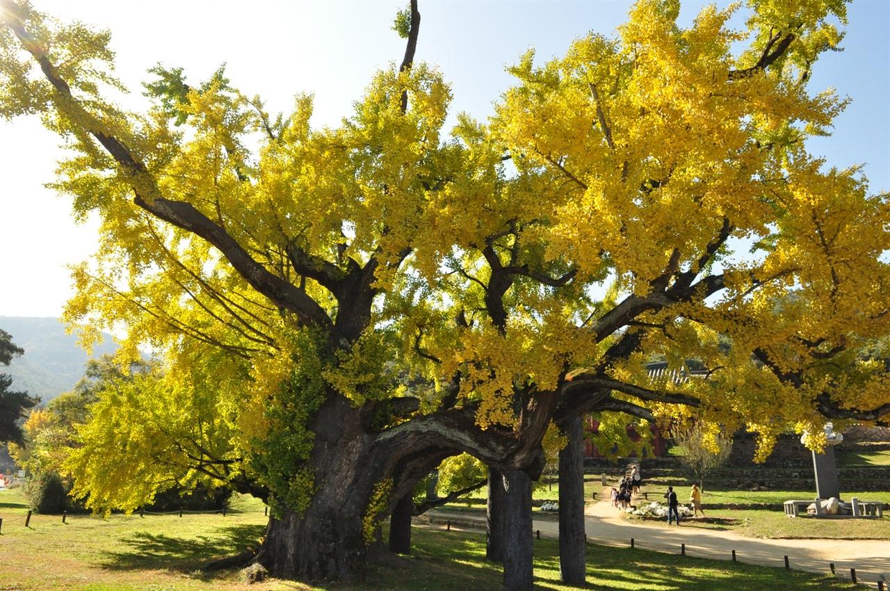 도동서원의 수문장인 김굉필나무. 수령 440년인 이 은행나무는 위로 곧게 자란 경주 운곡서원의 나무와 달리 옆으로 여러 개의 가지를 한껏 뻗어 우람하고 위엄에 찬 모습이 가히 장관이다.