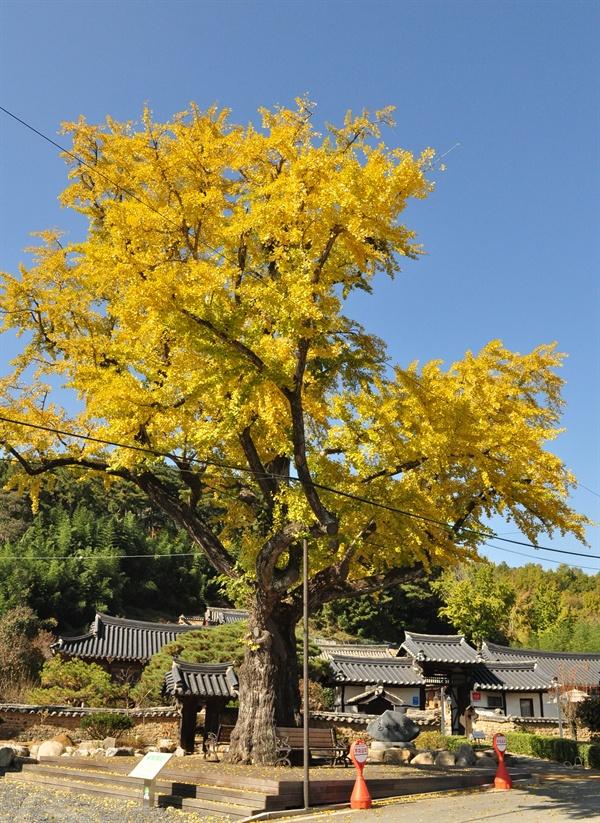 도동서원과 가까운 곳에 한훤당고택이 있다. 요즘 이곳은 분위기있는 한옥카페로 인기가 많다. 고택 입구에는 수령 400년이 된 은행나무가 서있다.