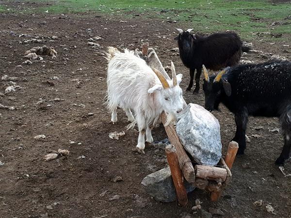 염소들이 빨아먹고 있는 것은 무엇일까? 돌조각? 아니다. 유목민들이 동물들을 위해 마련해 놓은 암염이다. 유목민들이 마련해 놓은 암염은 염소뿐만 아니라 소, 말, 야크, 양까지 차례로 돌아가면서 핥아먹고 있었다.