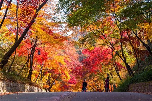 홍엽의 남산 북측순환로 국립극장에서 시작하는 북측순환로의 가을길