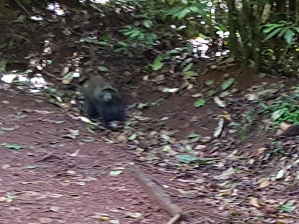 킬리만자로는 생태계의 보고 도처에서 얼룩 콜롬버스 원숭이, 파란 원숭이, 침팬지, 들쥐, 두더지, 다양한 빛깔의 새 등을 목격할 수 있었다. 갑자기 뛰쳐나와서 카메라가 약간 흔들렸다. 사람 몸통만한 크기의 침팬지로 생각된다.