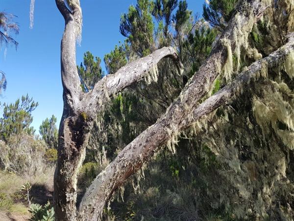 마운디 분화구 위쪽의 나무들 모습 마운디 분화구(Maundi Cratter Rim)를 지나서 만나게 된 초입 산림지대와 또 다른 모습의 나무들과 초원지대의 잡풀들의 풍광이다.