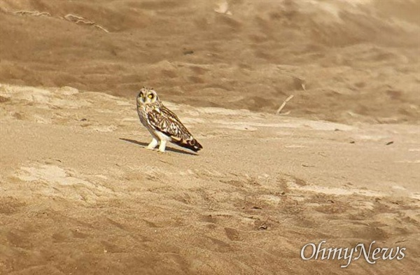 천연기념물 쇠부엉이가 11월 11일 창녕남지 쪽 낙동강 모래톱에서 발견되었다.
