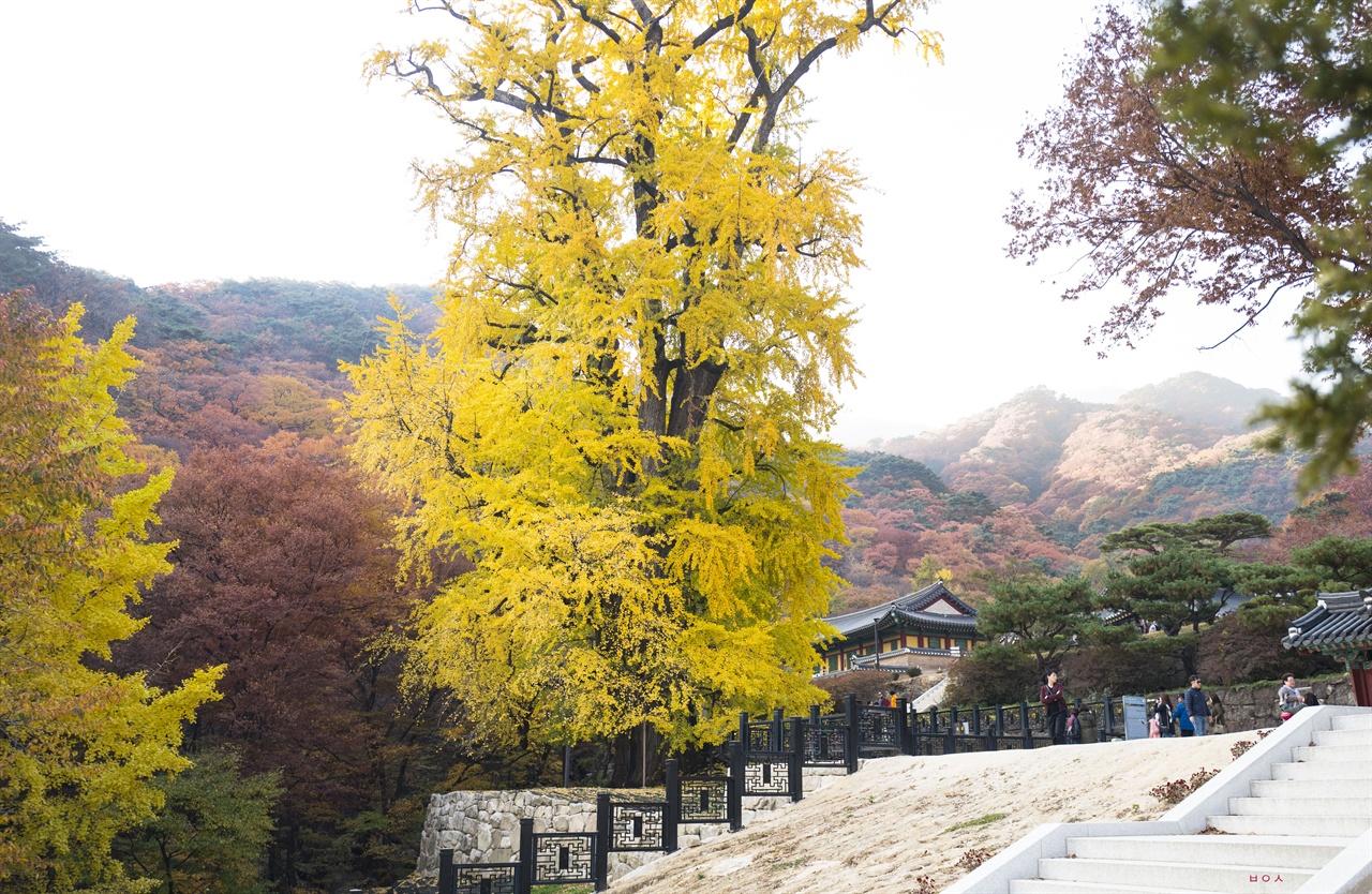 용문사 은행나무  용문사 경내 노랗게 물든 수령 1100년의 은행나무