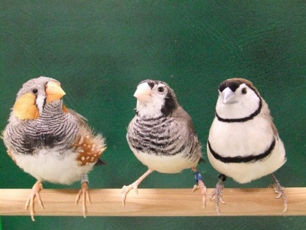 얼룩말 되새(왼쪽)와 올빼미 되새(오른쪽). 가운데는 이들 사이에 태어난 혼혈 되새.