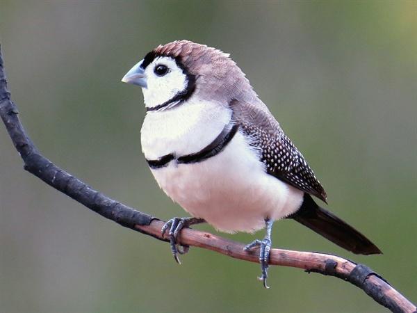 올빼미 되새. 눈 부위에 모양이 올빼미를 연상시킨다 해서 이런 이름이 붙었다.