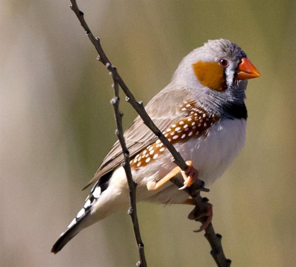 나뭇가지 위에 앉은 얼룩말 되새. 가슴 위쪽 부위의 무늬가 얼룩말과 비슷해 이런 이름을 얻었다.