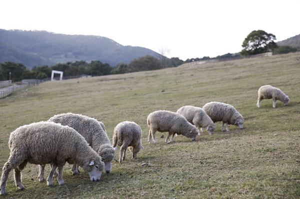 풀밭에서 풀을 뜯고 있는 양떼. 무등산양떼목장에서는 방문객들의 먹이주기 체험도 가능하다.