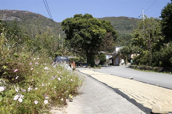 화순 수만리 풍경. 마을 입구 도로변에서 나락을 말리고 있는 모습이 보인다.