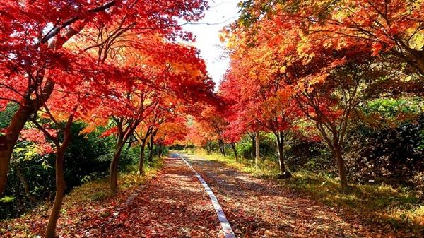 붉은 슬픔. 풍암정으로 가는 단풍나무길. 제 몸의 전부였던 것을 아낌없이 버리기로 결심하면서 나무는 생의 절정에 선다