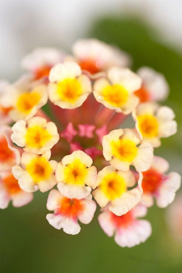란타나 꽃  작은 우산을 펼친듯 앙증맞다. 한송이 꽃에 모인 작은 꽃잎의 색이 조금씩 다르다.