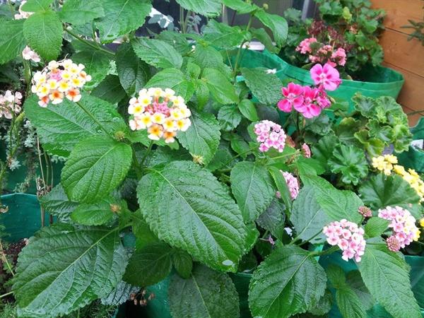란타나는 무럭무럭 잘 자란다. 꽃도 펑펑 잘 피우고, 색깔도 수시로 변한다.