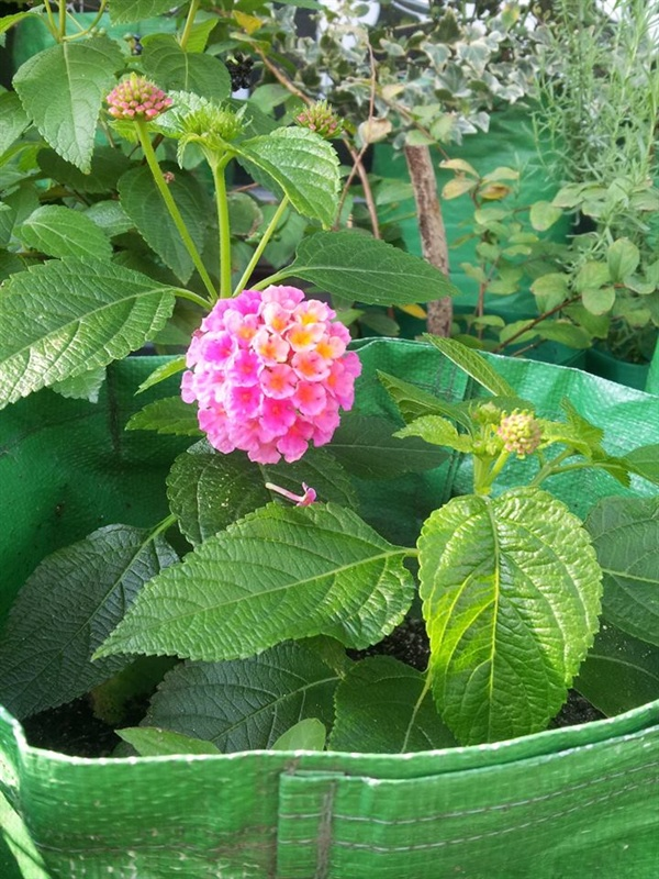 다른 식물은 꽃망울이 맺힌 줄기의 경우 줄기꽂이가 어려운 경우가 많다. 란타나는 문제 없다. 공처럼 빵빵하게 꽃을 피운 모습이 귀엽다.