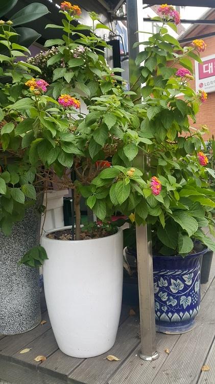 구산동 골목길에서 만난 외목대 란타나. 봄부터 늦가을까지 꽃을 피운다.
