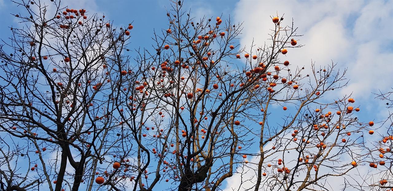 수도원안에는 나무들이 많다. 까치밥이 주렁주렁 달린 감나무