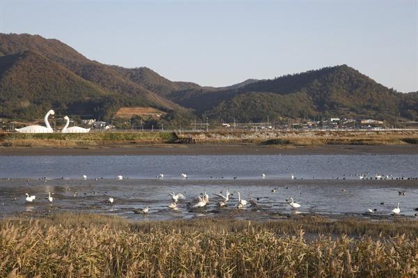 강진만 갯벌과 갈대밭에는 겨울철새들이 날아와 머물고 있다. 큰고니로 불리는 백조를 비롯 백로, 혹부리오리, 청둥오리 등 부지기수다.