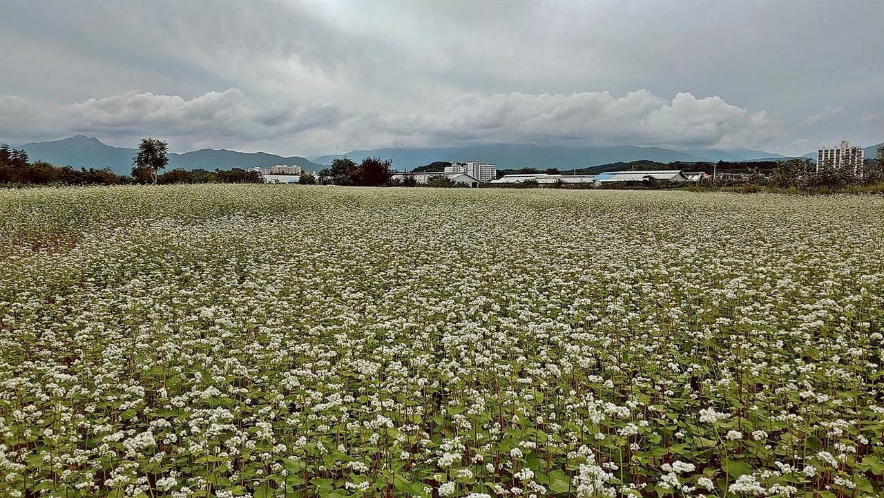 메밀밭 감자를 캐거나 옥수수를 수확한 밭을 갈아 메밀을 파종하는데, 이 시기에 비가 많이 내리면 비가 그친 뒤에 다시 파종하기도 했다. 메밀은 8월 하순부터 9월 하순 사이면 어김없이 꽃을 피웠고, 가을이면 까맣게 알곡을 맺었다.