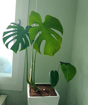 방부제 일종인 포름알데히드를 흡수, 새집 증후군 해소에 특히 도움된다는 몬스테라는 잎이 독특해 인테리어 목적으로도 사랑받는 관상식물이다. 몬스테라는 왜 이런 잎을 가지게 되었을까?  식물에 대한 것들을 알고 있으면 관리에 도움되는 것은 물론이다.