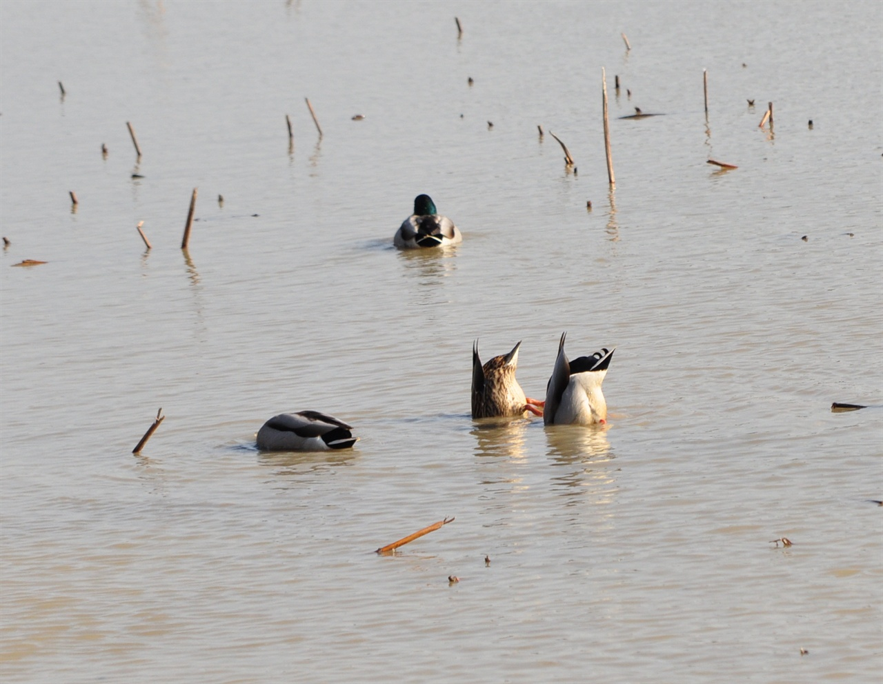 겨울철새이자 텃새인 청둥오리가 꽁지를 위로 치켜들고 부리를 물에  담근 채 열심히 먹이활동을 하고 있다.