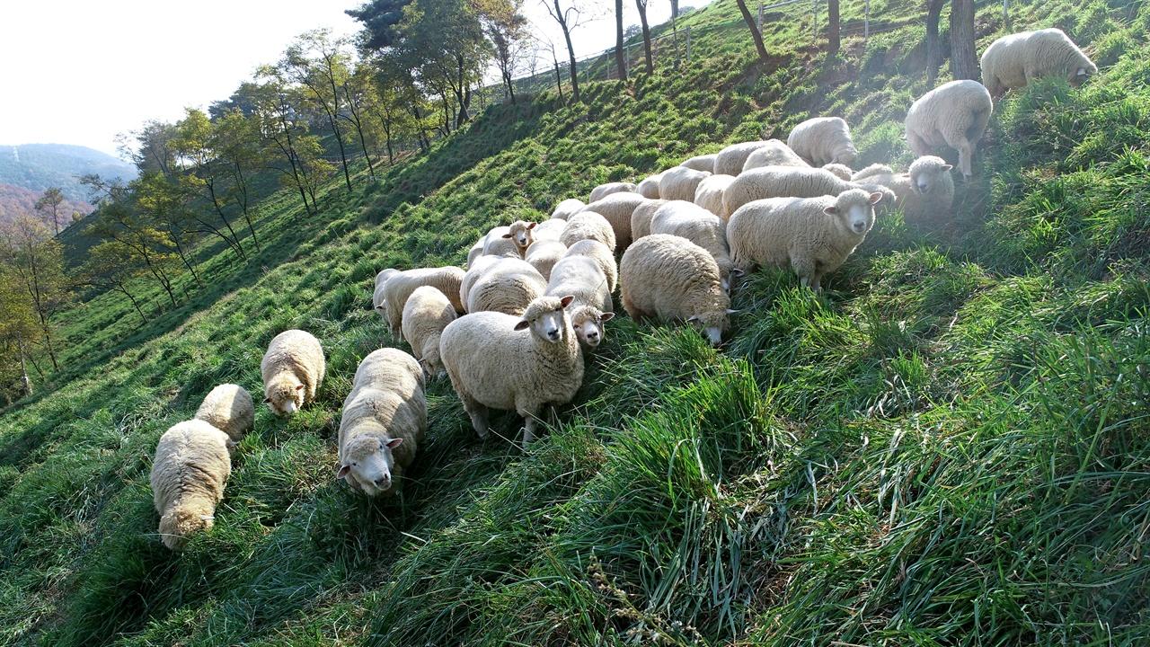칠곡 양떼목장에서 한가롭게 풀을 뜯는 양들.