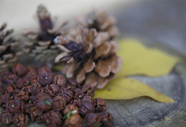 윤제림 편백숲에서 주운 편백 열매와 솔방울. 이 계절에 지천이다.
