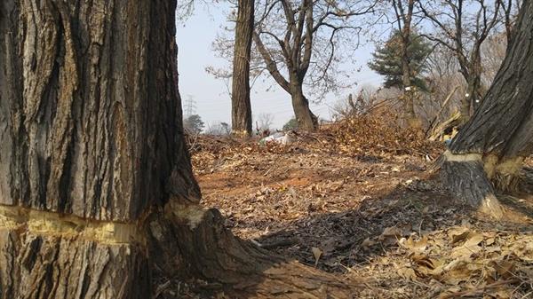나무를 죽이는 방법 3 물관부와 체관부를 제거하면 나무는 서서히 말라 죽는다. 2016년 3월 이렇게 만든 나무 다섯 그루가 이번 12월에 뿌리째 뽑혔다.
