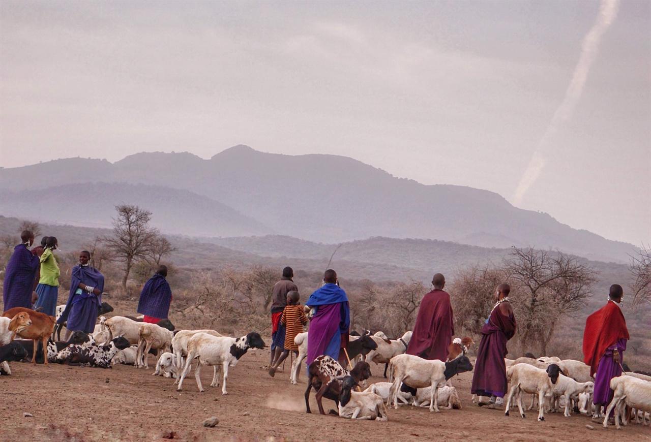 해 질 녘, 종일 초원에서 풀을 뜯고 돌아오는 소와 염소를 마중 나온 마사이 마을 사람들