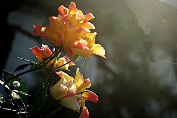 석창원의 장미
