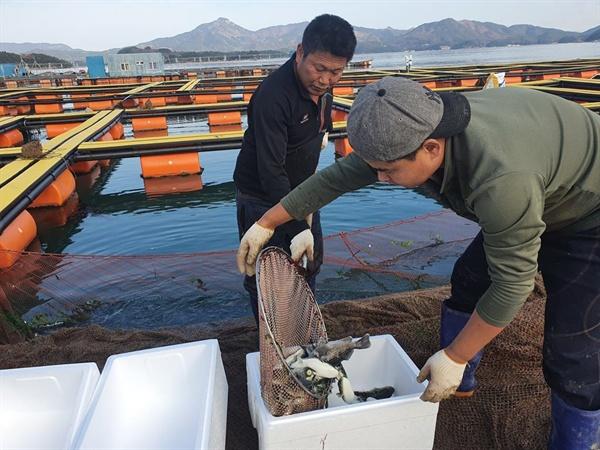 경남 고성 가두리양식장에서 자란 '자주복'이 일본에 수출된다.