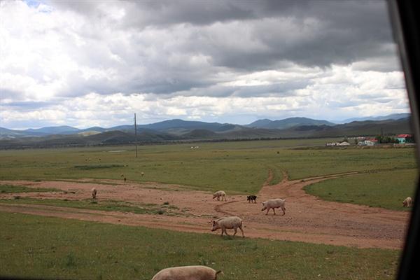 몽골은 돼지를 초원에 놓아기르고 있었다.